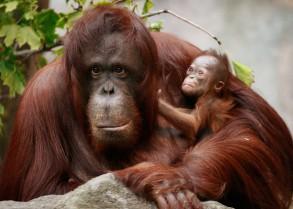 Monkeys - Orangutan mother and baby 5