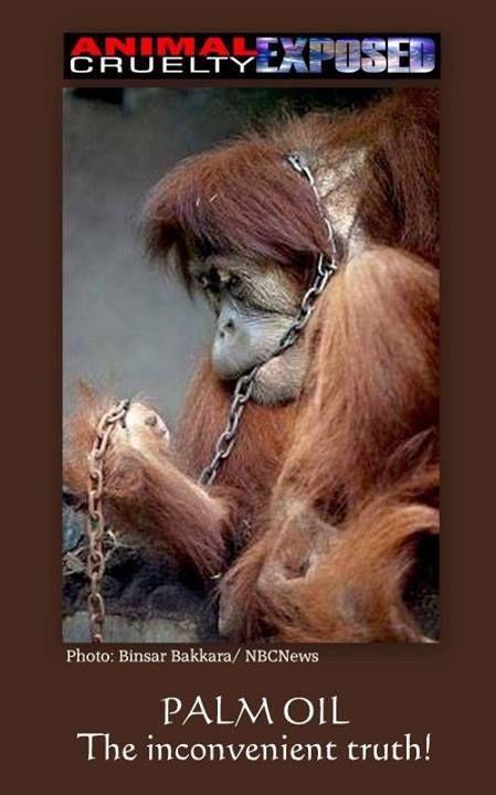 Monkeys - Orangutans 02