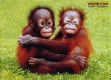 Monkeys - Orangutans babies 2