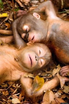 Adorable Rescued Orangutans