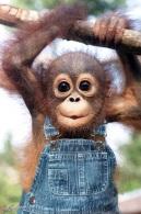 Monkeys - Orangutans baby dungarees