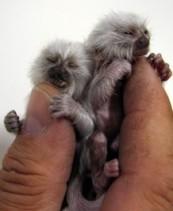 Monkeys - Small 10
