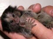 Monkeys - Small 13