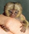 Monkeys - Small 15