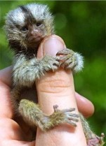 Monkeys - Small 16