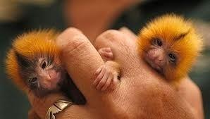 Monkeys - Small 19