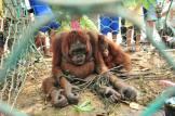Orangutans 01