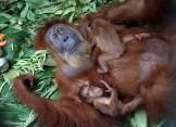 Orangutans 02