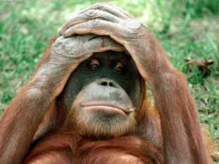 Orangutans 03