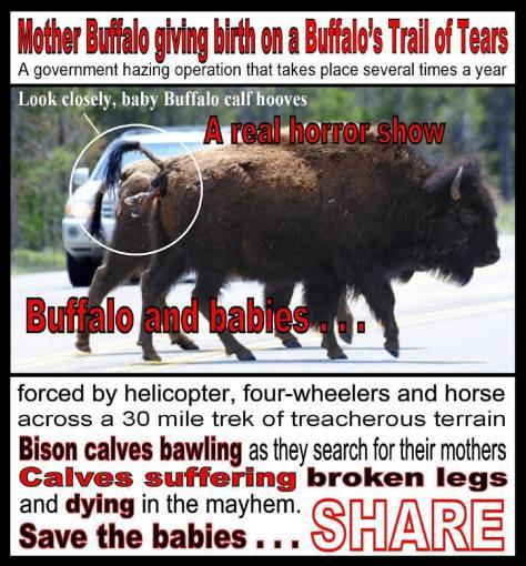 Bison 08