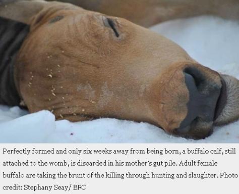 Bison unborn