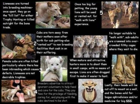 canned-hunting-lions-life-cycle