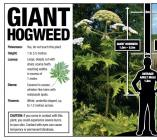 Cats and dogs - Medical toxic giant hogweed