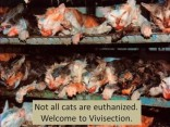 Cats - Vivisection