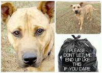 Homeless pets - Kill black bags tan pittie