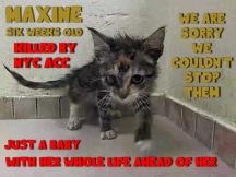 Homeless pets - NYC AC&C killed cat Maxine