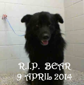 Homeless pets - NYC AC&C killied 'Bear' on 9 April after an inhumane stay