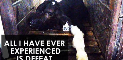 Factory farming - cattle calves defeat