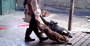 Factory farming - cattle calves tortured