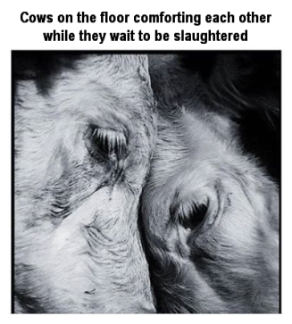 Factory farming - cattle comforting each other