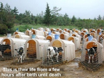 Factory farming - cattle farming today