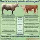 Factory farming - cattle humanely raised