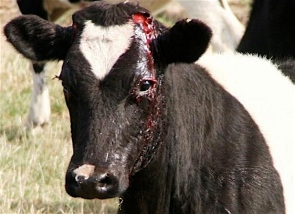 Factory farming - cattle injured cow