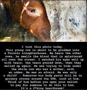 Factory farming - dairy calf crying on way to slaughter