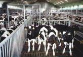 Factory farming - dairy cattle calves