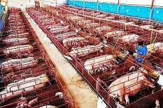 Factory farming - pigs crates