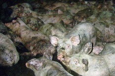 Factory farming - pigs crowded dirty and ill