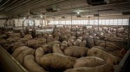 Factory farming - pigs crowded in pen