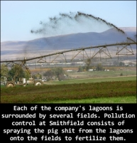 Factory farming - pigs factory largest in the world 1