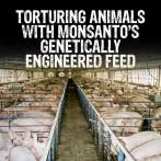 Factory farming - pigs fed gmos