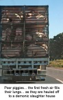 Factory farming - pigs first fresh air on way to die