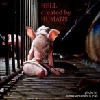 Factory farming - pigs hell created by humans