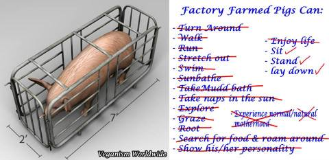 Factory farming - pigs in factory farms