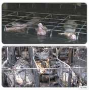 Factory farming - pigs in fire or flood