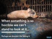 Factory farming - pigs something horrible