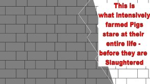 Factory farming - pigs stare at wall