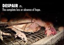 Factory farming - poultry chicken despair