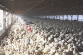 Factory farming - poultry factories 1