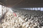 Factory farming - poultry factories 1