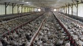 Factory farming - poultry factories 2