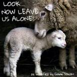 Factory farming - sheep lamb 04