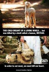 Factory farming - Sheep lambs killed