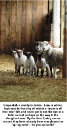 Factory farming - sheep lambs