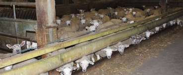Factory farming - sheep