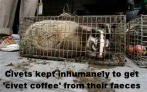 Message - Coffee civet