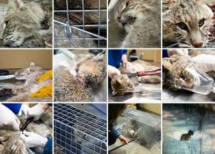 Fur and skin trade - Bobcat rescue